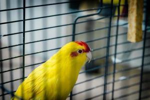 perruche kakariki à front rouge de couleur jaune, doré, (cyanor photo
