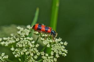 scarabée rouge vif sur une fleur. photo