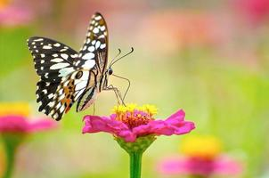 papillon monarque sur une fleur rose photo