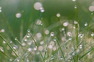 rosée du matin fraîche sur l'herbe de printemps