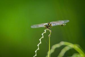 la prise de libellule sur la plante photo