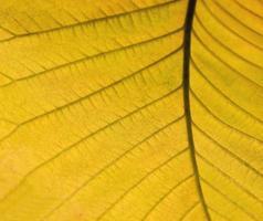détail de feuille d'automne jaune