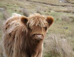 portrait de bétail frontal highland photo