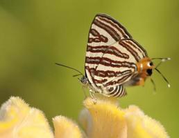 Club silverline papillon rouge sur fleur de fond de Thaïlande photo
