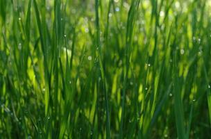 herbe verte défocalisée douce avec des gouttelettes d'eau au soleil