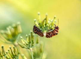 l'accouplement de deux bugs de bouclier sur fond flou