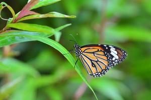papillon monarque photo