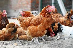 poulets sur une ferme avicole traditionnelle en libre parcours