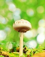 champignon parasol photo