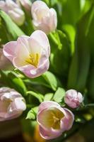tulipes photo