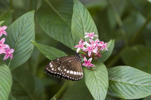papillon lauriers roses photo