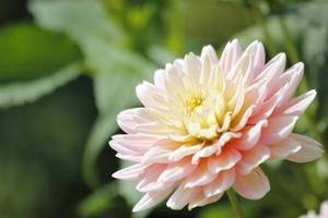 fleur de dahlia rose photo