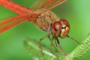 libellule rouge photo