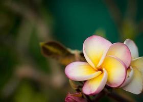 fleurs de plumeria photo
