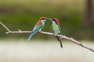 Guêpier à gorge bleue, oiseau de Thaïlande photo
