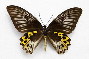 papillon isolé photo
