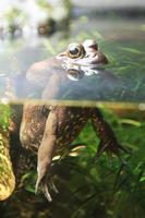 grenouille dans l'eau
