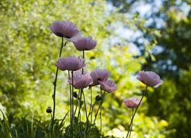 fleurs de pavot photo