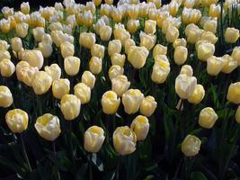 belle tête de tulipe jaune photo