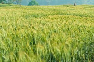 orge verte dans la ferme avec la lumière de la nature photo