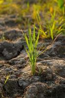 arbre de riz photo