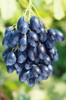 mûrir le raisin photo