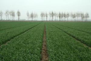 champ de blé sous le ciel photo