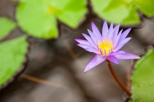 nénuphar violet photo