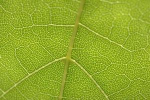 nervures des feuilles