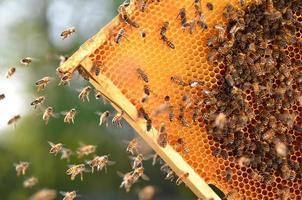 abeilles travailleuses sur nid d'abeilles dans le rucher photo