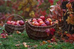 récolte fraîche de pommes. jardinage d'automne. jour d'action de grâce. photo
