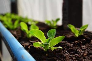 légumes verts hydroponiques cos. photo
