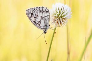 papillon échiquier blanc marbré photo