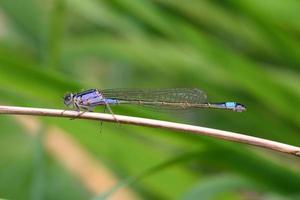 libellule demoiselle à queue bleue photo