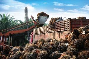 fruits de palmier à huile