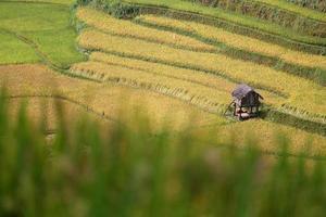 ferme de riz au vietnam