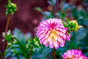 beau dahlia dans le jardin