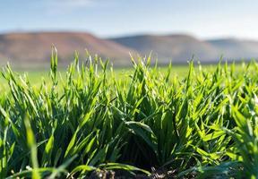 jeunes plants de blé photo