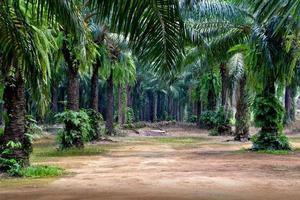 Plantation de palmiers à huile à Krabi, Thaïlande photo