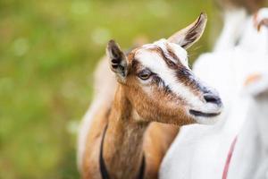 chèvre sur le pré