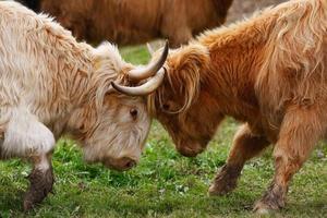 remorquage de vaches photo