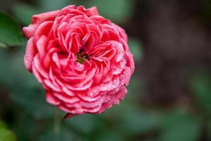 fleur: gros plan rose chinois rose fleur isolé beijing, chine photo