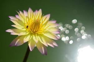 Lotus sur la réflexion de l'eau