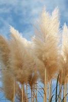 les pampas dominent avec un fond de ciel nuageux photo