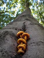 champignons sur un hêtre vivant