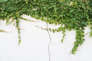 feuilles de lierre isolé sur fond blanc photo