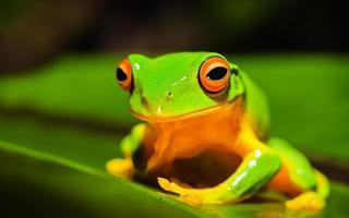 Belle rainette verte à cuisses orange sur une feuille