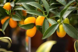 kumquat aux agrumes photo