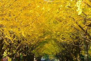 Ginkgo bordé d'arbres au parc Hikarigaoka à Tokyo