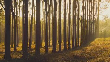arbre à caoutchouc au lever du soleil dans la brume photo